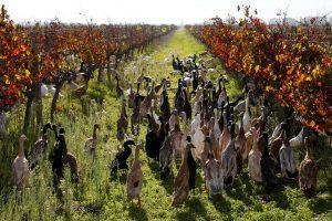 Vynuogynus nuo kenkėjų saugo... antys