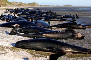 Zelandijoje nugaišę banginiai pasėjo nerimą