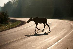 Kaip kelyje išvengti padažnėjusių incidentų su laukiniais gyvūnais