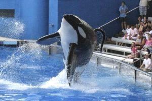 Floridoje nugaišo orka, kuri anksčiau yra nužudžiusi savo trenerę