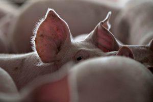 Kiaulių maras tapo našta smulkiesiems ūkininkams