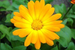 Žolininkė įvardijo, kuris augalas gali pagydyti nuo visų ligų