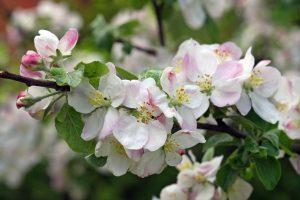 Kodėl naudingiau auginti dekoratyvines obelis