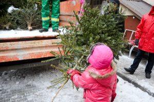 Klaipėdos mieste surinks eglutes