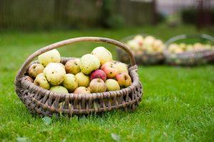 Vagišiai iš svetimo sodo nuskynė apie keturias tonas obuolių