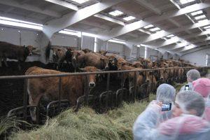 Vaikams – proga iš arti pamatyti gyvas karves