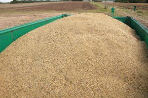 Šalyje didėja grūdų supirkimo kainos