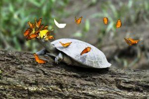 Gamtos akibrokštai: kodėl Peru drugeliai puola vėžlius?