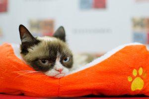Įžymioji katė debiutavo Brodvėjuje ir įamžinta vaškinių figūrų muziejuje