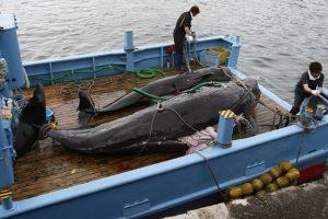 Japonų banginių medžioklės laivai išplaukė į Antarktį