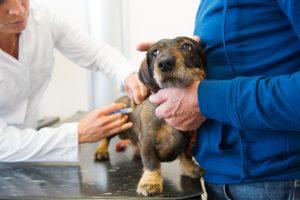 Lietuvoje tik 10 procentų naminių gyvūnų skiepijami kasmet
