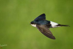 Lietuvos metų paukščiu paskelbta langinė kregždė