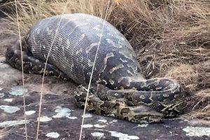 Godų pitoną pražudė 13 kg svėrusi dygliakiaulė