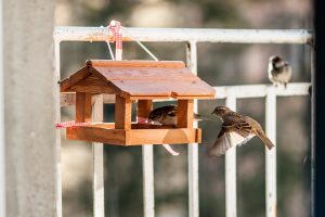 Ar žvirbliai gali užkrėsti vištas paukščių gripu?