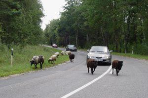 Gyvūnų teisių gynėjus pašiurpino dažytos avys