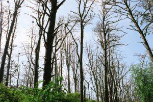 Palangoje išnuodyta beveik 180 medžių