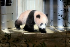 Mažylė panda pirmą kartą debiutavo prieš kameras