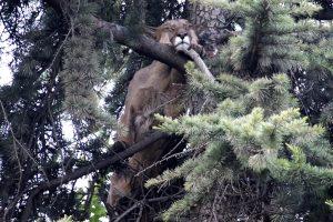Medyje nejudėdama puma kiūtojo 15 valandų