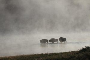 Po buivolų ir liūtų akistatos nuskendo 400 gyvūnų