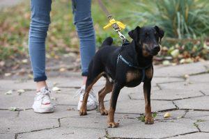 Geltonas kaspinas – šuns gerovei ir aplinkinių saugumui