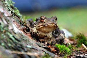 Skambina pavojaus varpais: rupūžės naikina gyvūniją