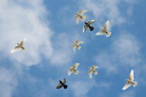 Prasidėjusi rudeninė paukščių migracija didina gripo pavojų
