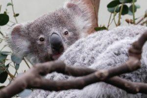 Australija paskelbė apie koalų išsaugojimo planą