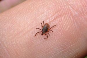 Pavojingi parazitai jau pabudo: kaip apsisaugoti nuo erkių?