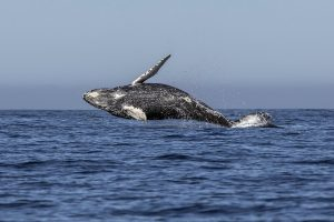 Japonijos banginių medžiotojai per naujausią ekspediciją sumedžiojo 177 banginius