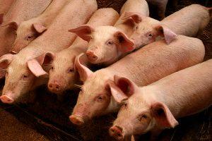 Nustatyti dar penki kiaulių maro židiniai