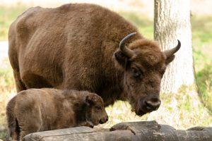 Mažieji gyvūnų mylėtojai išrinko vardus Pašilių stumbriukams