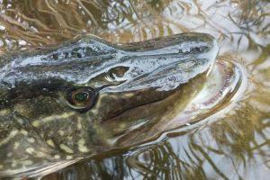 Priminimas žvejams – nuo vasario draudžiama žvejoti lydekas