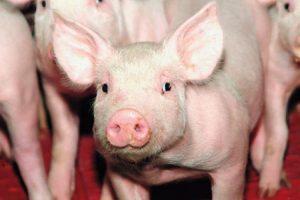 Naujas kiaulių maro užkratas grasina 40 tūkst. kiaulių