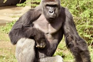 JAV zoologijos sode nušauta gorila, į jos aptvarą įkritus mažamečiui