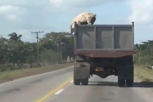 Kaip kiaulė drąsuolė spruko iš mirties nasrų