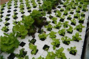 Užsiauginti šviežių daržovių bei žuvies galima ir ant namo stogo