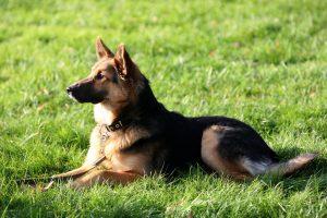 Kada šunys turi vaikščioti su antsnukiais?