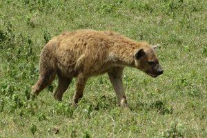 PAR hiena užpuolė palapinėje buvusį paauglį