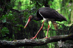 Ornitologai aktyviai tiria juoduosius gandrus