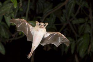 Kaip padeda šikšnosparniams gerai išsimiegoti