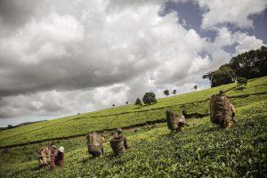 Arbatos mėgėjams – metinė šventė: ragaujama pirmojo skynimo Dardžilingo arbata