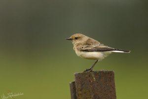 Lietuvoje pasirodė nauja paukščių rūšis