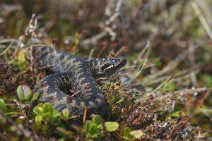 Miške sutikę gyvatę – neerzinkite