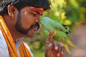 Papūgos-narkomanės Indijoje naikina opiumo derlių