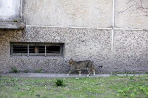 Kaune bus teisiamas katiną nukankinęs vyras – gresia kalejimas