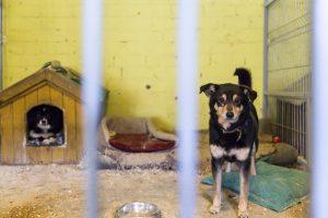 Šiaulių rajono gyventojos namuose – tragiškos būklės šuo, įaugusi net apykaklė