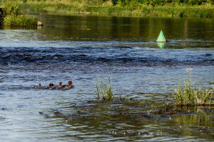 Vilniuje iš Neries ištrauktas skenduolės kūnas