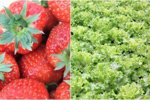 Kaip geriausia auginti salotas ir braškes?