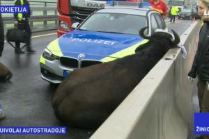 Vokietijos policininkai ant greitkelio užmigusius buivolus traukė kranu