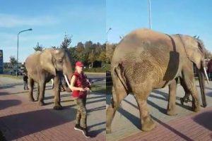 Klaipėdiečiai nustebę: Taikos prospekte – dramblys